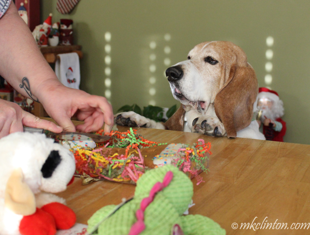 Basset Hound getting birthday cookie