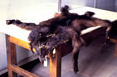 The Andean Wolf Skin
