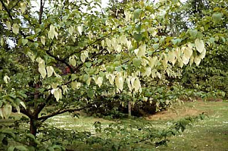 image of Handkerchief tree or Dove tree