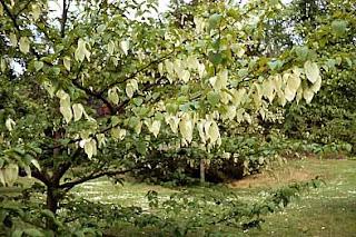 image of Handkerchief tree or Dove tree