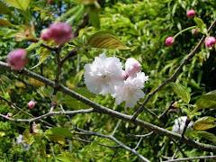 浄妙寺の鎌足桜
