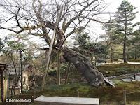 Heavily supported leaning tree - Kenroku-en Garden, Kanazawa, Japan