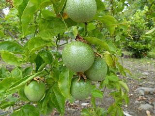 Passiflore non déterminée - Passiflora sp.