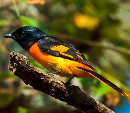 Indian birds - Image of Orange minivet - Pericrocotus flammeus