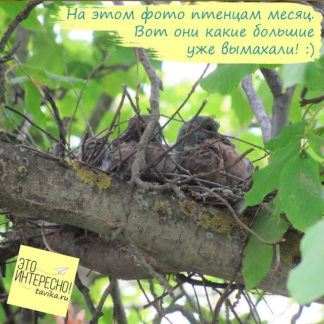 птенцы витютеня возрастом 2 недели