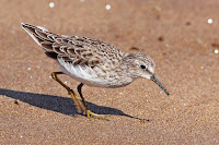 Pectoral Sandpiper, nonbreeding plumage – Floreana Island, Galapagos – Jan. 2011 – photo by Benjamint444