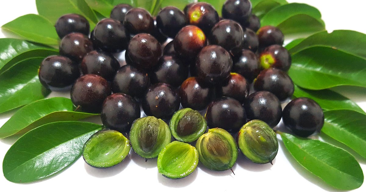 Vivero Ciprest - Plantas nativas y exóticas: Quixabeira (Sideroxylon obtusifolium)