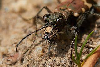 Öves homokfutrinka - Cicindela hybrida