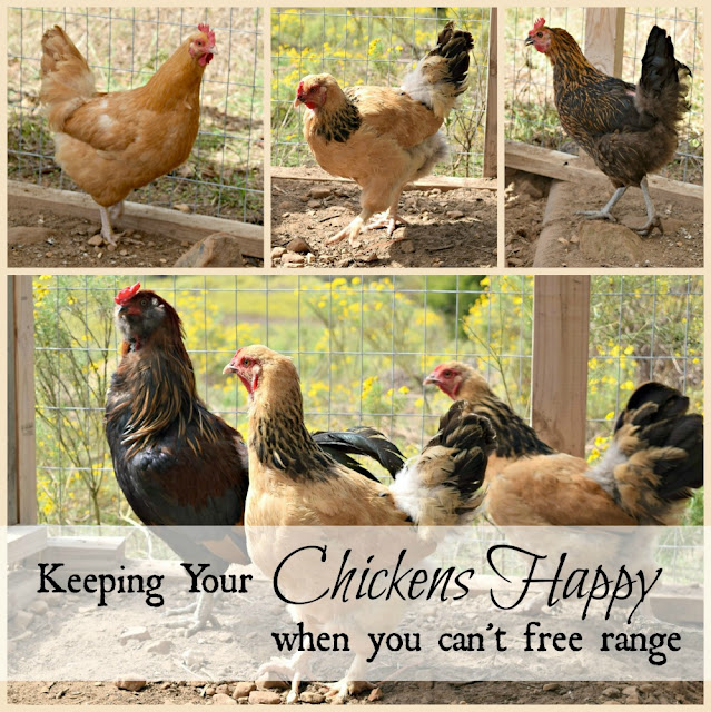 Keeping your chickens happy when they can't free range.