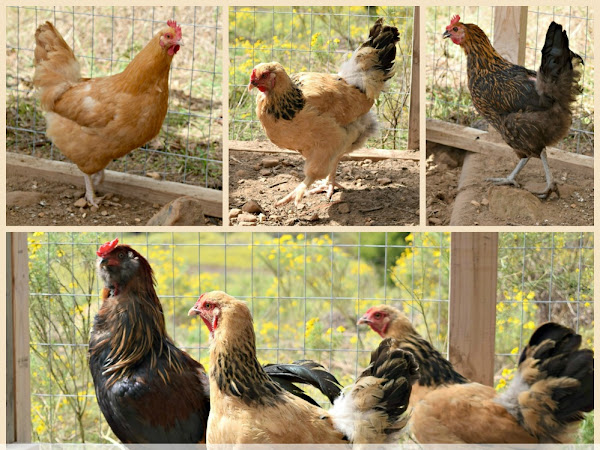 How to Keep Your Chickens Happy When You Can't Let Them Free Range