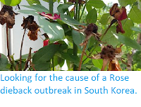 https://sciencythoughts.blogspot.com/2019/06/looking-for-cause-of-rose-dieback.html
