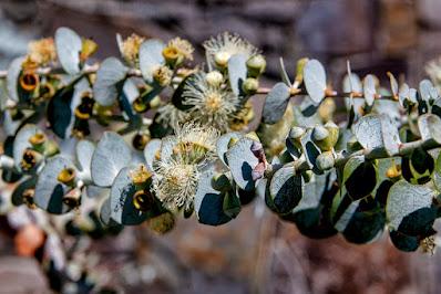 Eucalyptus%2Bcinerea.jpg