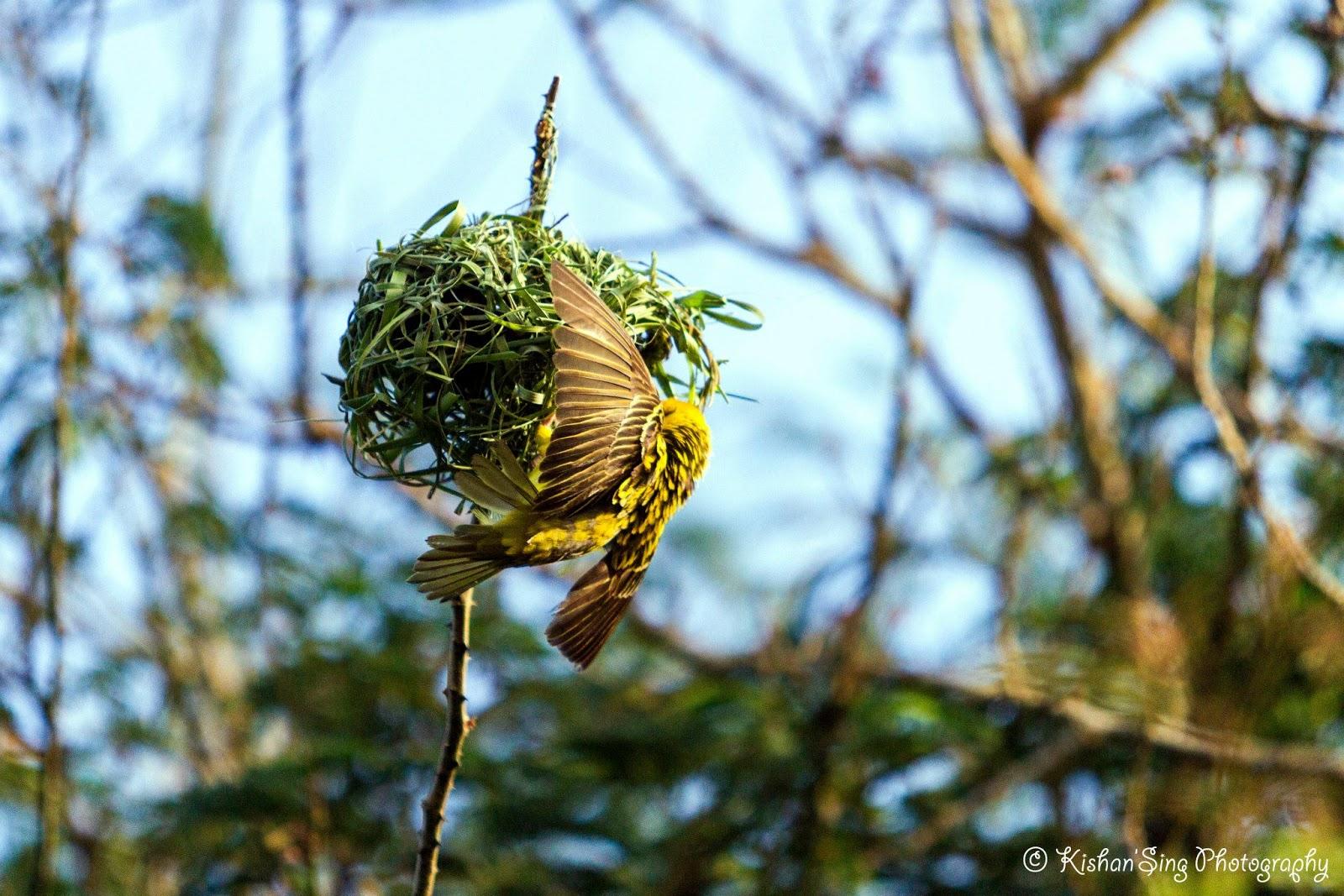 my sweet mauritius quand l 39 oiseau fait son nid. Black Bedroom Furniture Sets. Home Design Ideas
