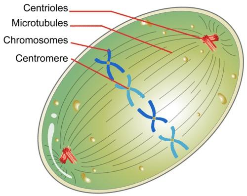 Sentriol pada pembelahan sel