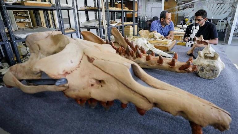 Ο Αbdullah Gohar, ερευνητής στο πανεπιστήμιο El Mansoura, εργάζεται για την συντήρηση του απολιθώματος 43 εκατομμυρίων ετών ενός άγνωστου μέχρι τώρα αμφίβιου τετράποδου είδους φάλαινας.