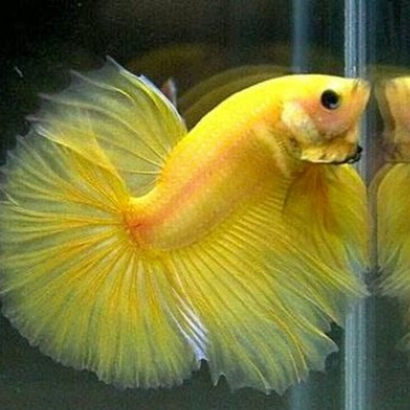 Image Beautiful Betta Fish