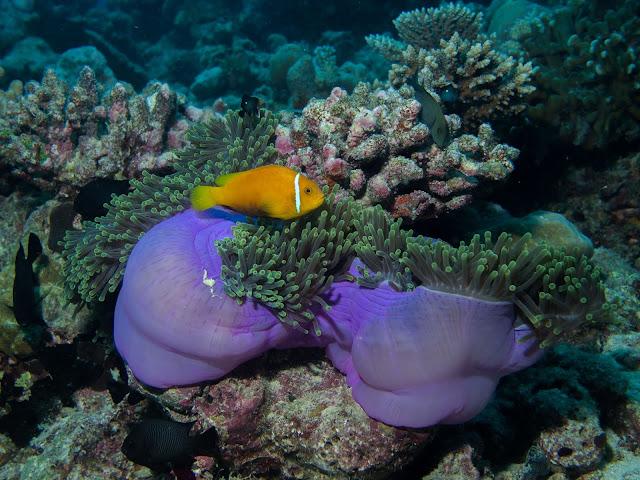 Fish Nemo