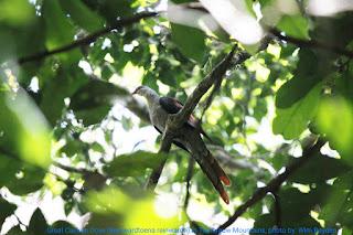 Wisata Pengamatan Burung di Hutan Pegunungan Tambrauw