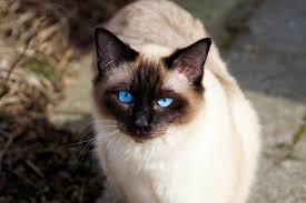 """""""قط البالينيز"""" """"قط البالينيزي"""" """"قط بالينيزي"""" """"قط الاكزوتيك"""" """"قط الروسي"""" """"قط البورما"""" """"قط الروسي الازرق"""" """"قط الابيس"""" """"القط الروسي الابيض"""" """"القط البالينيزي"""" """"سعر قط بالينيزي"""" """"معلومات عن قط الاكزوتيك"""" """"قطط الاكزوتيك"""" """"قط اكزوتيك"""" """"قط اكزوتيك للبيع"""" """"القط الاكزوتيك"""" """"قطة الاكزوتيك"""" """"قط الروسية"""""""