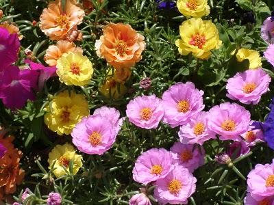 Plantas que costumam ser confundidas com a onze-horas (ou são popularmente chamadas de onze-horas) : Beldroega, rosinha-de-sol e cacto-margarida. Todas com alguma semelhança entre si e com a onze-horas.