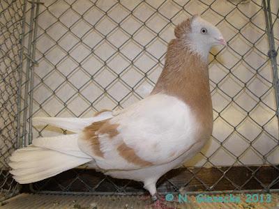 Danzig Highflyer pigeons - poland