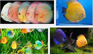 Budidaya Ikan Discus