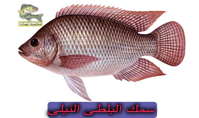 صيد البلطى بالمصران