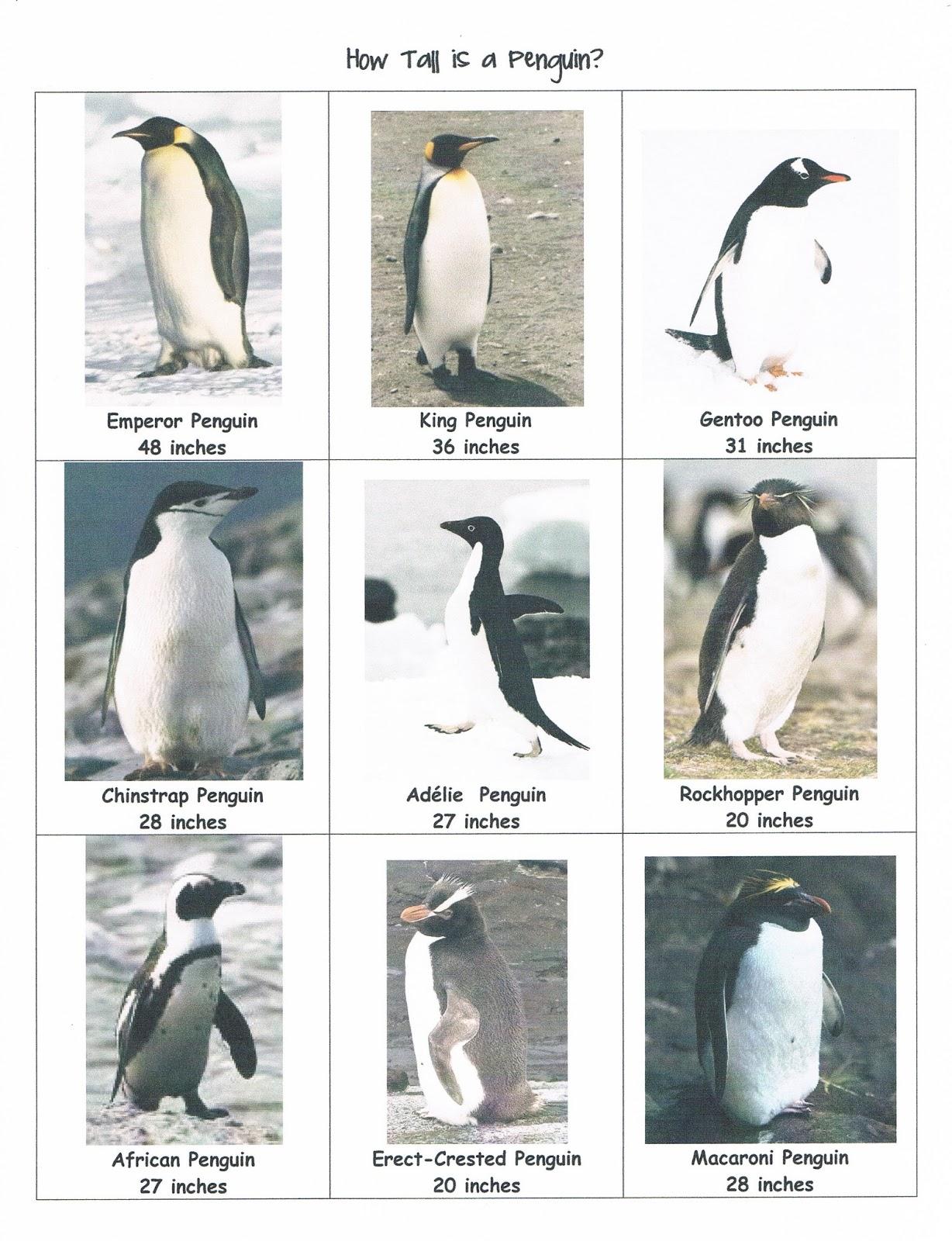 Emperor Penguin Size Comparison