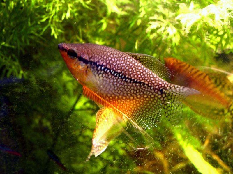 Jenis Ikan Sepat Hias-Ikan Sepat Mutiara