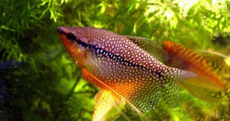 Ikan Sepat Hias Info Lengkap Jenis Dan Harganya Ikan Hias Air Tawar Laut Dan Aquarium