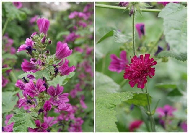 Malven und Witwenblume
