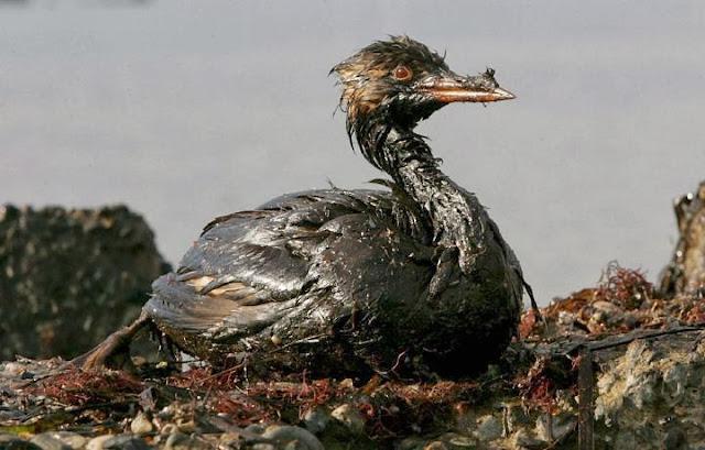 ave-petróleo
