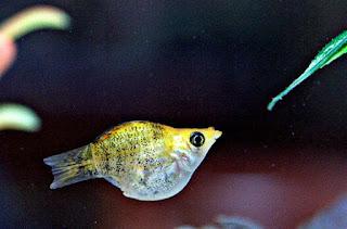 Ikan Molly Untuk Aquarium Kecil