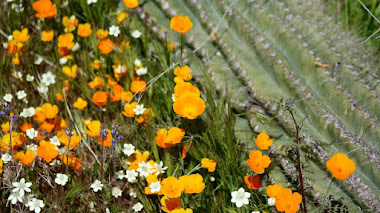 Amapolas en Arizona: Mexican Gold Poppy