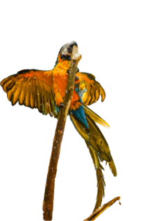 Flying parrot png