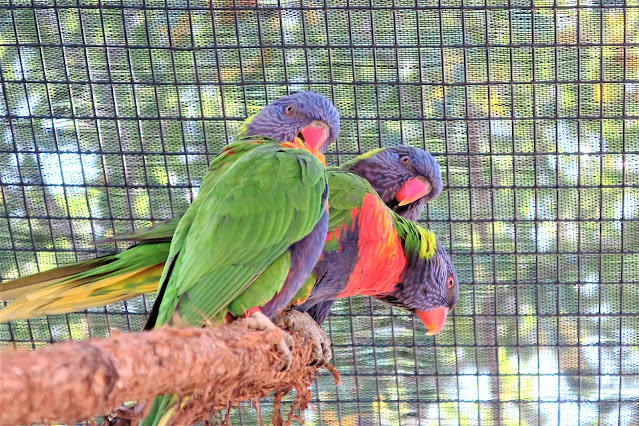 Parrots, Kansas City Zoo, Missouri. September 2018.