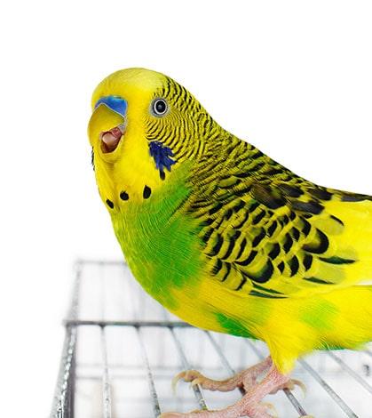 muhabbet kuşu konuşturma