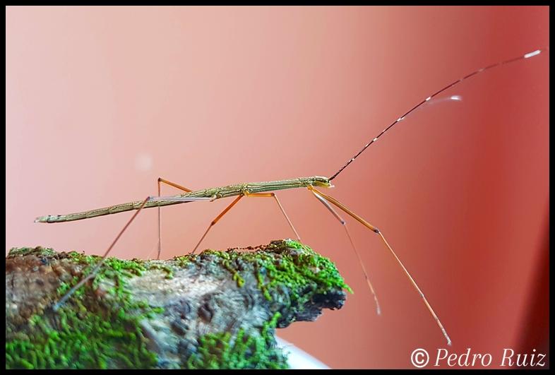 "Ninfa macho L3 de Lamachodes sp ""Bokor"", 3,4 cm de longitud"