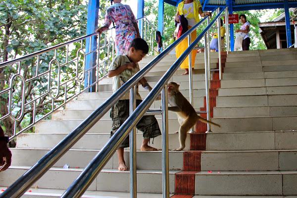 Monos del Monte Popa de Bagan