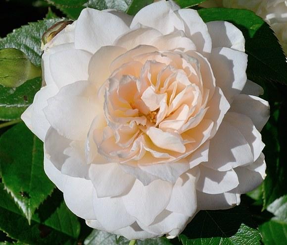 Nadine Xella-Ricci сорт розы Массад фото