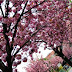 Dobroslava Luknárová: Keď kvitnú japonské čerešne