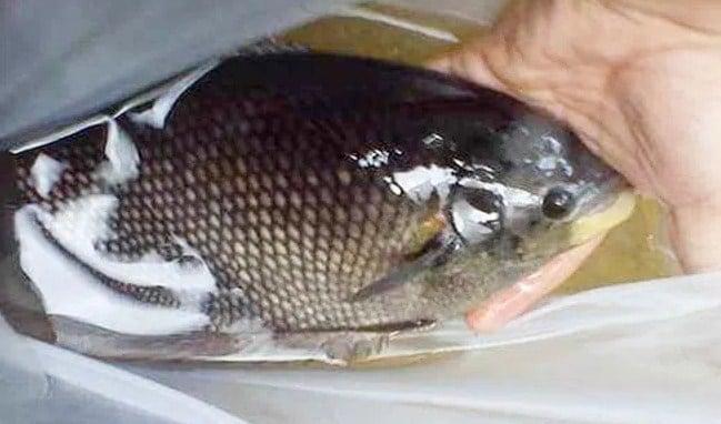 Budidaya Ikan Gurame Jepun