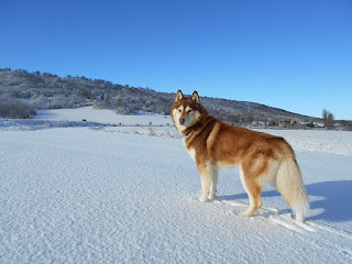 Jenis Anjing Siberian Husky
