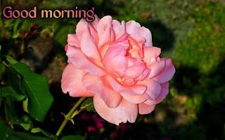 good morning yellow rose