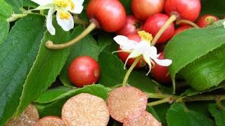 manfaat daun kersen diabetes kolesterol asam urat