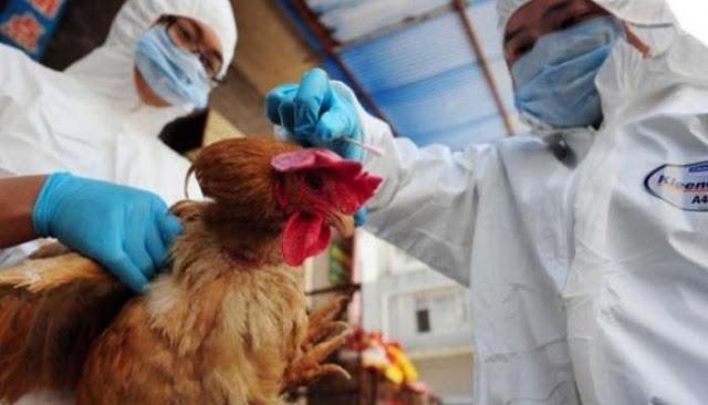 إعدام مئات الآلاف من الدواجن في هولندا وألمانيا خشية تفشي إنفلونزا الطيور