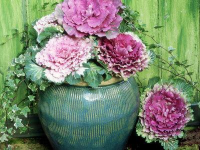 As flores são pequenas e amarelas em espiga ereta acima da planta, mas não são importantes para ornamentação. São plantas que chegam em torno de 20 a 30 centímetros de altura. Normalmente, apresentam em colorações diferenciadas, com folhas de tamanho grande, formatos arredondados, e ainda com suas extremidades crespas.