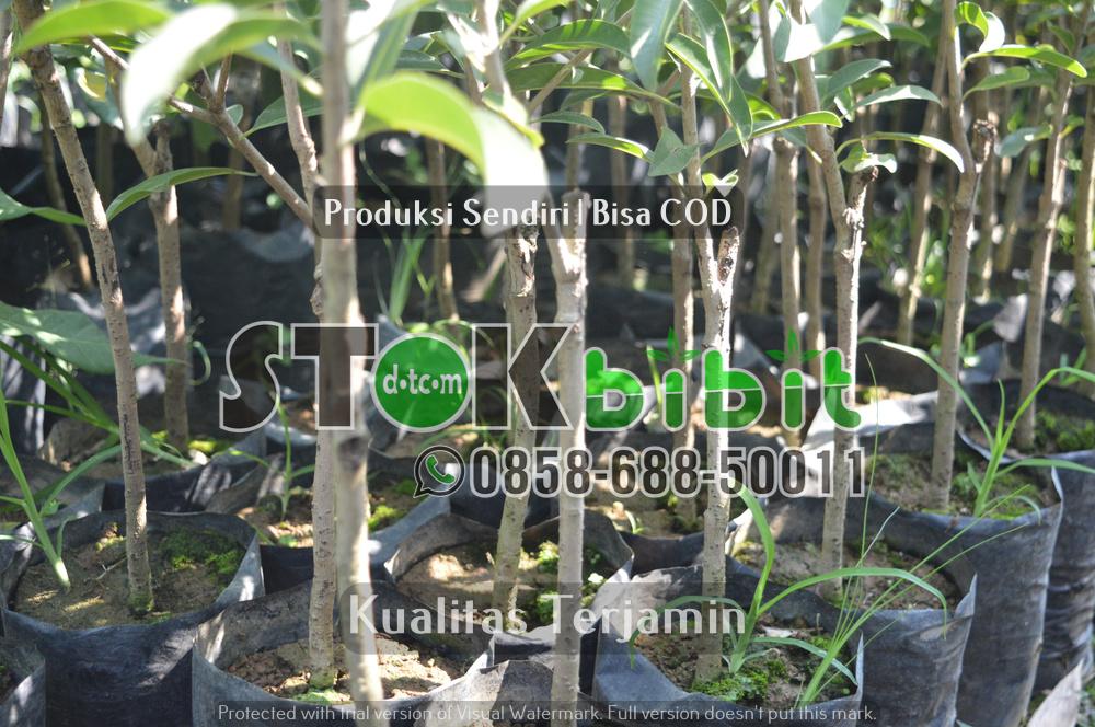 Pengiriman Bibit Glodok ke Yogyakarta      Unggul     terjamin