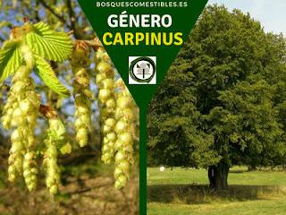 El género Carpinus, arboles caducifolio, monoicos. Se caracteriza por sus frutos de forma lenticular