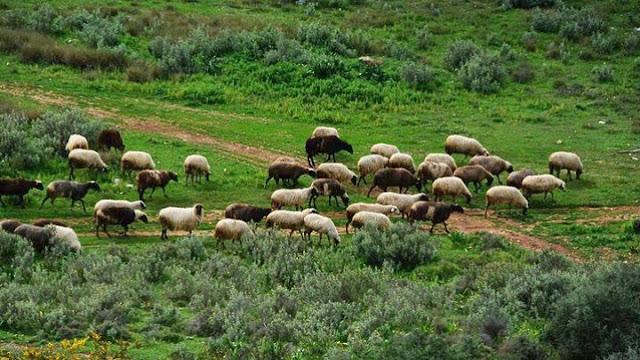Σύνδεσμος Ελληνικής Κτηνοτροφίας: Να καταβληθεί  άμεσα και στο σύνολό της η ενίσχυση στους αιγοπροβατοτρόφους